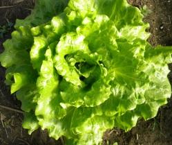 lettuce cropped